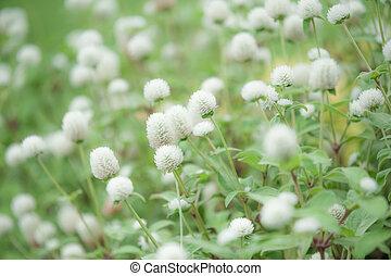 kwiaty, biały, pole, od, przedimek określony przed rzeczownikami, park.