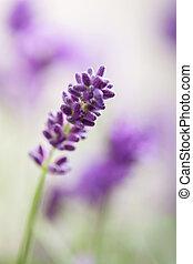 kwiaty, lawenda