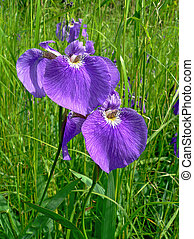 kwiaty, od, irys, (iris, laevigata), 4