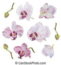 kwiaty, odizolowany, pociągnięty, storczyk, wektor, ręka, piękny, akwarela