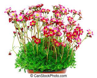 kwiaty, odizolowany, tło, czerwony