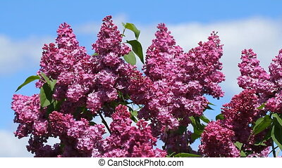 kwiaty, syringa, bloomed