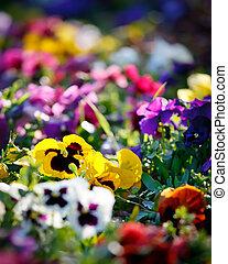 kwiaty, wielobarwny, fiołek