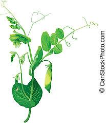 kwiaty, zielone ziarnko grochu