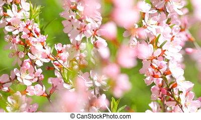 kwitnąc, gałęzie