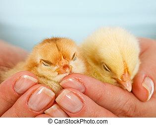 kycklingarna, kvinna, sömnig, ung, räcker