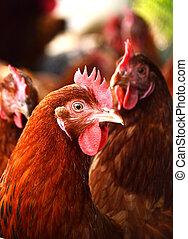 kycklingarna, på, traditionell, fritt spänna, fjäder, lantgård