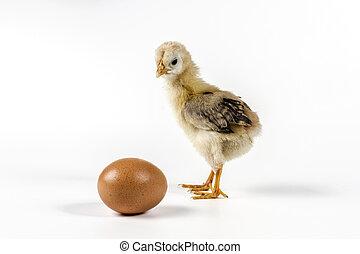 kylling, hvid baggrund