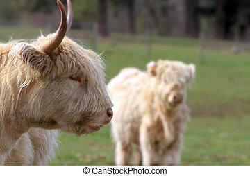 Kyloe Highland Cattle with Calf