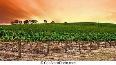 kymácení, vinice, západ slunce