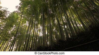 Bamboo forest in Kyoto, Japan, sun flare light filtering through, looking uop