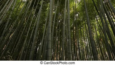 Bamboo forest in Kyoto, Japan, sunlight filtering through, cinematic camera movement