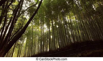 Kyoto Bamboo Forest - Bamboo grove in Kyoto, Japan