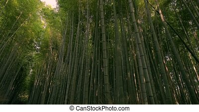 Kyoto Bamboo Forest, tilt up - Bamboo forest walk in Kyoto, ...