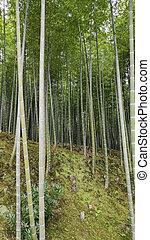 kyoto, famoso, arashiyama, bosque, lugar, bambú