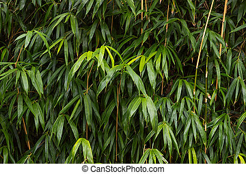 growing bamboo