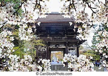 sakura season, Kyoto Japan
