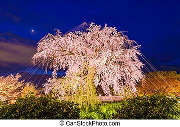 Kyoto Japan Springtime - Maruyama Park in Kyoto, Japan...
