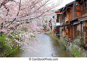 Kyoto wooden house and sakura