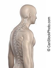 kyphosis, espina dorsal, aislado, 2, fase, hombre
