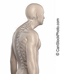kyphosis, espina dorsal, aislado, 3, fase, hombre
