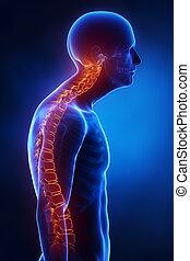 kyphotic, gerinc, oldalsó nézet, alatt, röntgen