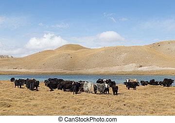 kyrgyzstan, ヤク, 湖, tulpar, 牧草, 南