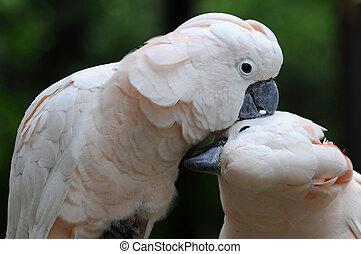 kyss, papegøjer