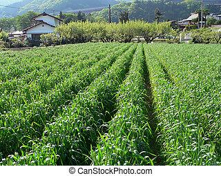 ländlich, landwirtschaft feld