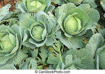 légume, chou, croissance, vert, jardin