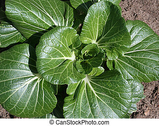 légume, choy, bok, jardin