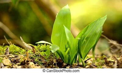 légume, printemps, allemand, médicinal, sauvage, aromate, ail, forêt