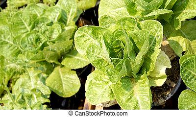Eau l gume hydroponique jardin syst me - Quelle salade planter maintenant ...