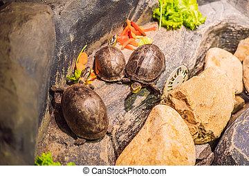 légumes, mange, tortues, terrarium