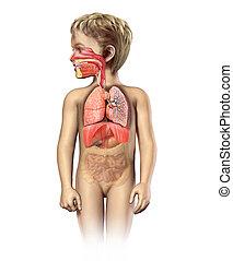 légzési, cutaway., rendszer, anatómia, tele, gyermek