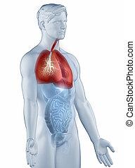 légzési, oldalsó, elszigetelt, rendszer, anatómia, ember, kilátás