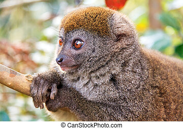 lémur, relajado, bambú