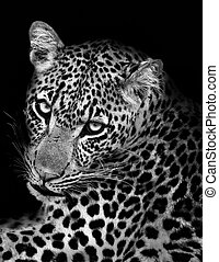 léopard, blanc, noir