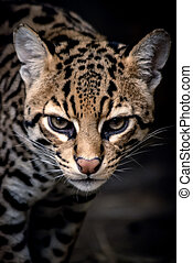 léopard, grand plan