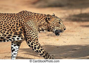 léopard, marche, profil