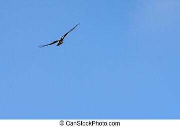 létat, konzervativní, kokrhání, nebe, umělecký, holub, ptáček