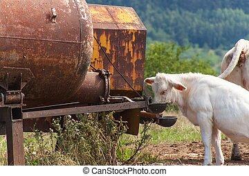 léto, nápoj, farma, tank., namočit, čech, republic., kráva, krmivo, den
