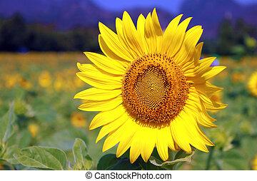 léto, slunečnice, bojiště