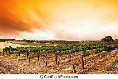 léto, vinice, východ slunce