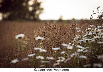 léto, západ slunce, sedmikráska, bojiště