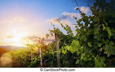 léto, zrnko vína, nad, ráno, východ slunce, vinnica, vineyard;, krajina, krajina