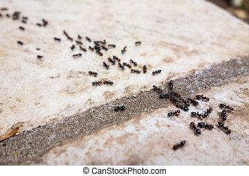 línea,  ant's