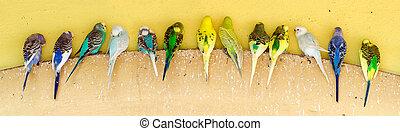 línea, se posar, parakeets, repisa
