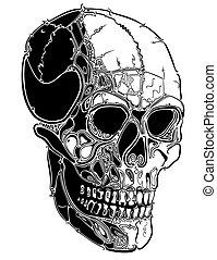 líneas, cráneo