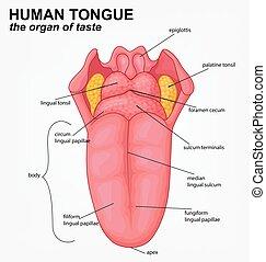 língua, human, estrutura, caricatura